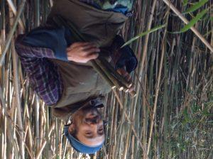 篠竹の収穫